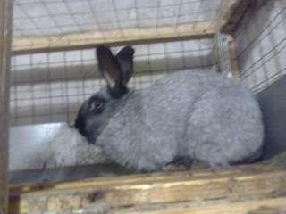 Племенные чистопородные кролики Полтавское серебро