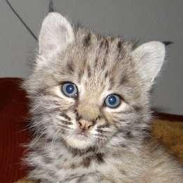 Продажа котят красивой РЫСИ!!!Канадской и Европейской рыси title=