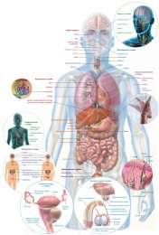 Плакаты по Анатомии
