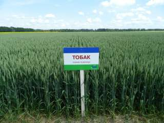 Продам посівний матеріал озимої пшениці Тобак title=