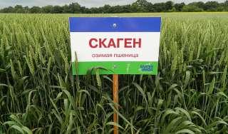 Продам посівний матеріал озимої пшениці Скаген title=