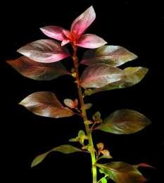 Аквариумные растения. Людвигия Рубин