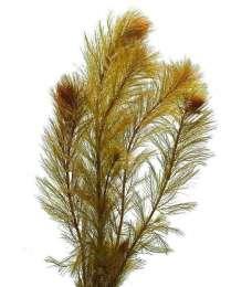 Перистолистник Рорайма. Аквариумные растения