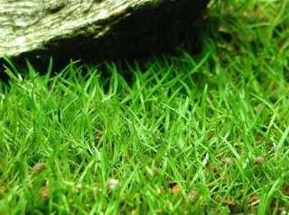 Лилаеопсис бразильский. Аквариумные растения