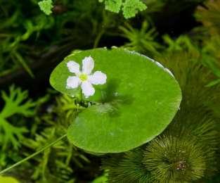 Нимфоидес. Растения для аквариума