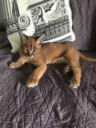 Serval и Savannah Caracal котята title=