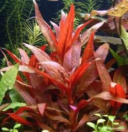 Альтернантера лиловая. Аквариумные растения