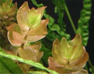 Бакопа каролинская. Аквариумные растения