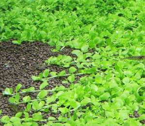 Микрантемум Монте Карло. Почвопокровное аквариумное растение
