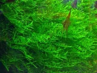 Мох Яванский. Растения и мхи для аквариума