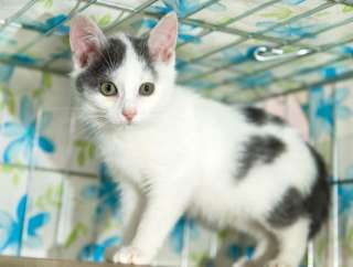Котенок Майла (2 месяца, кошечка)
