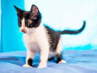 Котенок Максик, черно-белый малыш (2 месяца, кот)