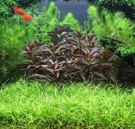 Эхинодорус нежный . Растения для аквариума