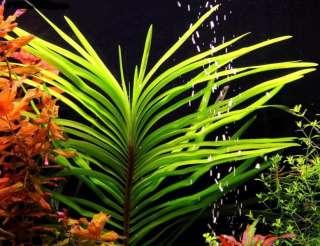 Эйхорния лазоревая. Растения для аквариума