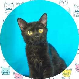 Ділан, 3 місяці, чорненке кошеня з золотим характером!