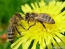 Продам бджолопакети 20 шт. title=