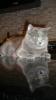 вязка британский кот