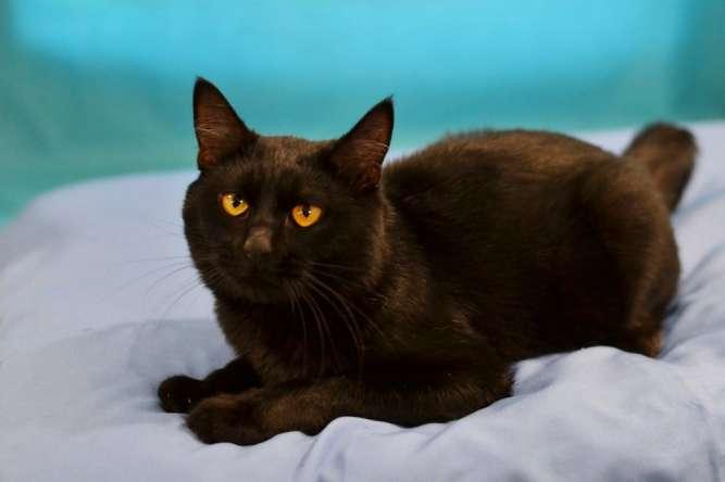 Черный кот с невероятными глазами – Янтарь (7 месяцев)