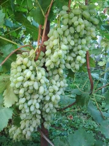 Саджанціі винограду