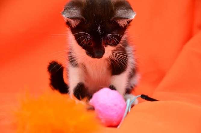 Черно-белая малышка Иша, 1,5 месяца
