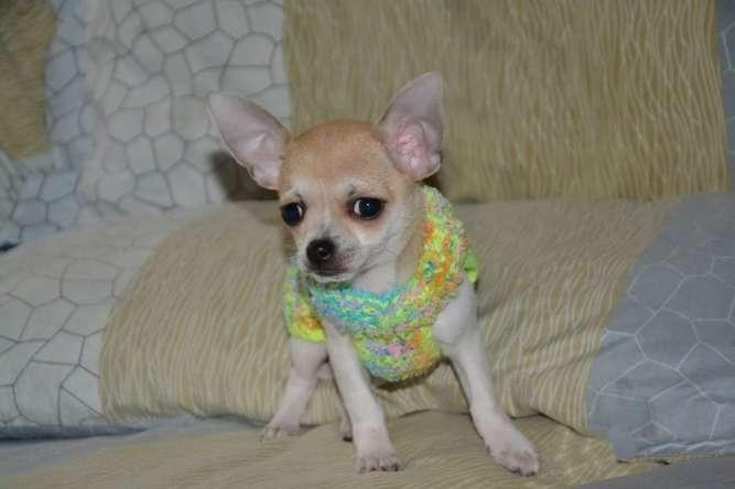 Чихуахуа Девочка со своей одёжкой. Мелкий стандарт
