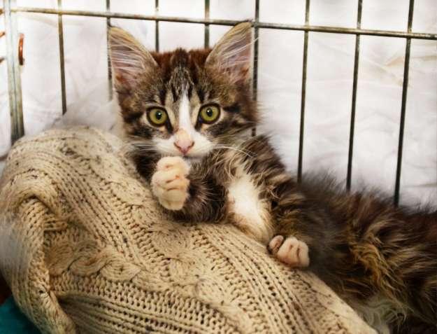 Полосатый котенок в беленьких носочках Котя (2 месяца, кот)