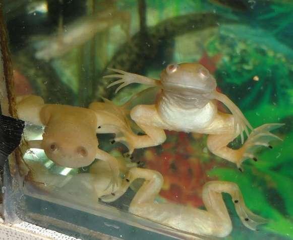 Лягушки, жабки желтые для аквариума, пресноводные размер 4 -5 см. Само