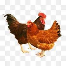 Инкубационное яйцо кур породы Род-Айленд