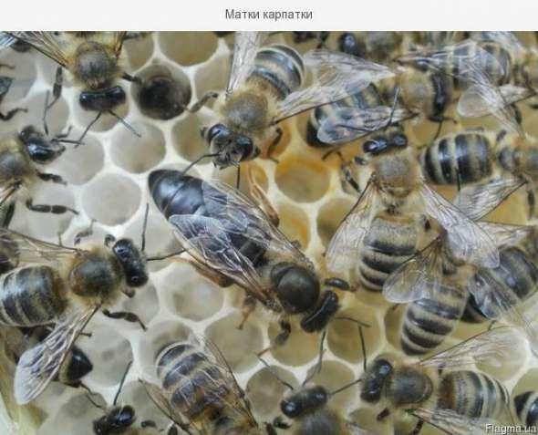 Бджолопакети, матки Карпатської породи тип Вучківський