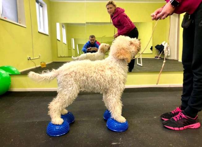 Тренировки Хендлер Хендлинг Кинолог Дрессировка собак Выставка собак