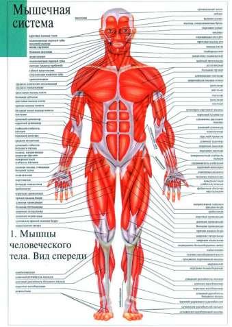 Анатомические плакаты