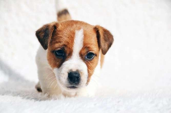 Продам породных щенков ДРТ