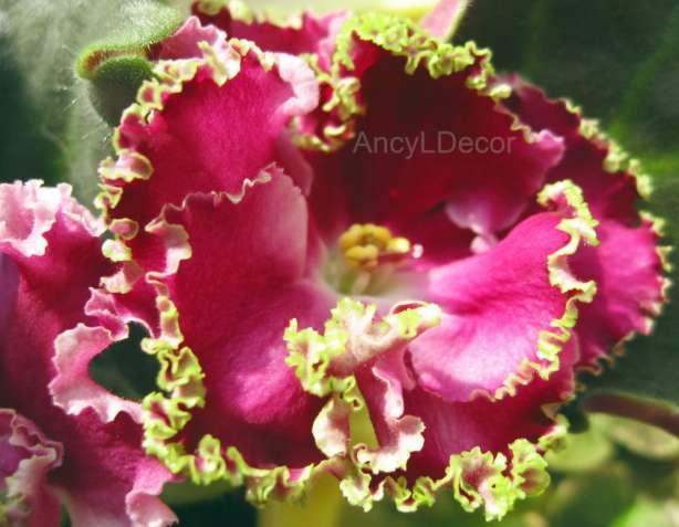 Фиалки сортовые, детка ЛЕ-Шанталь - бархатные цветы, кайма с зеленцой