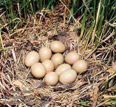 Инкубационные яйца фазанов декоративных пород