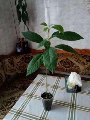 Декоративное,комнатное дерево Авокадо