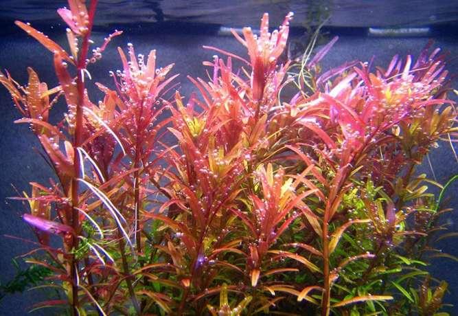Ротала Сингапур. растения для аквариума