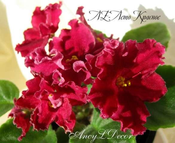 Фиалки сортовые, детка стартер ЛЕ-Лето Красное огромные красивые цветы