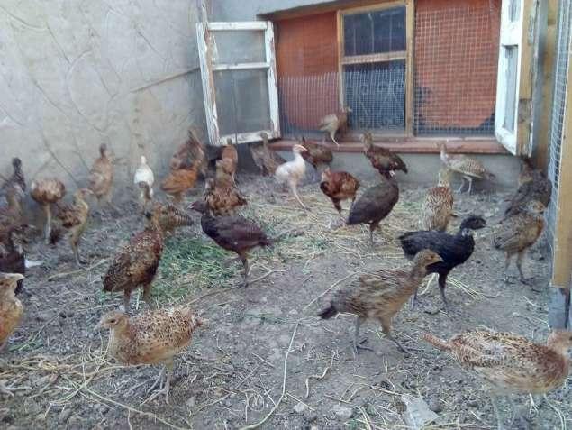 Молодняк фазанов для выпуска в природу