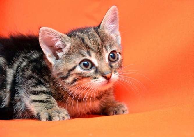 Перла, мраморный котёнок, 1,5 месяца