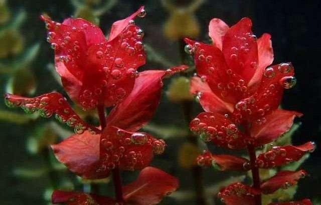 Ротала Макрандра. Аквариумные растения
