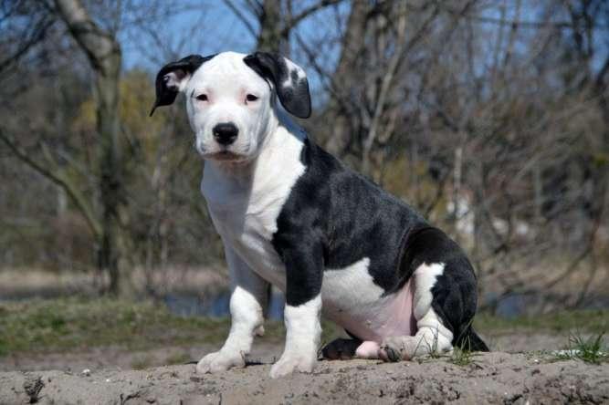 Продам чистокровных щенков Амстаффа