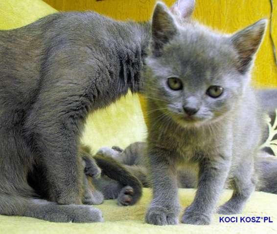 шартрез (картезианская) кошки голубого цвета