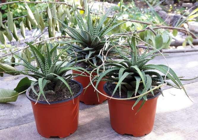 Хавортия полосатая /суккулент/ взрослое растение
