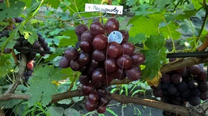 Саженцы винограда, черенки. отправка по всей Украине!!