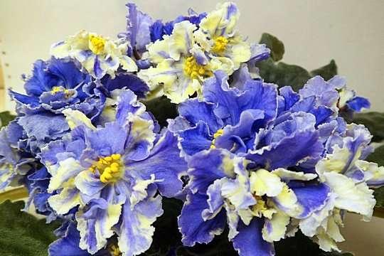 Фиалки Киев, детка РС-Жар-Птица - огромные красивые цветы