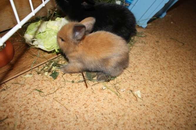 Кролики декоративные, пушистые