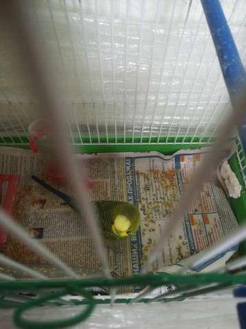 Продам хвилястого попугая