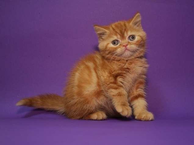 Шотландский котенок(девочка). Домашний питомник. Котята