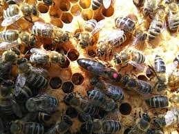 Продам бджолопакети та плідні мічені матки