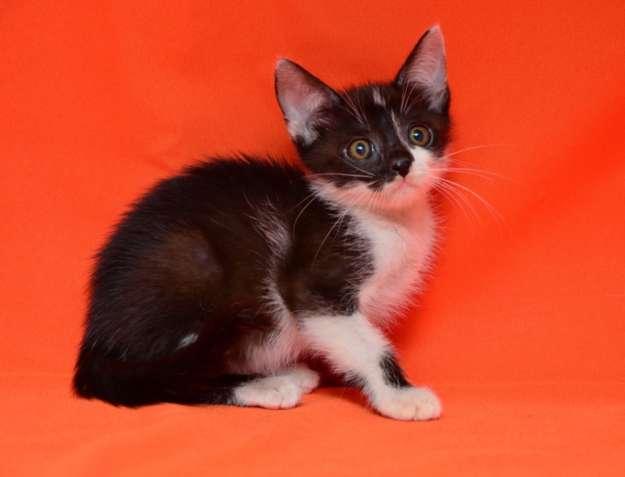 Иша, черно-белая малышка, 1,5 месяца